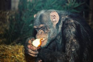 szympansy-lubia-nie-tylko-banany-fot-z-arch-zoo-w-warszawie