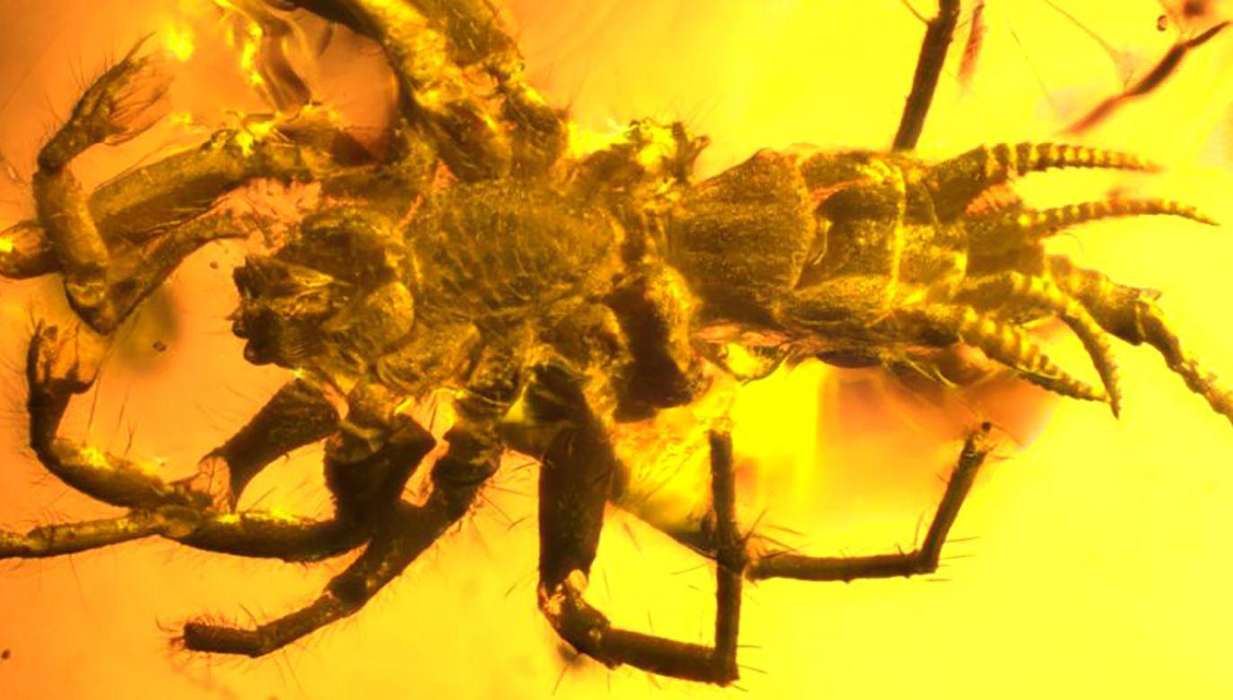 Odkryta skamielina jest najprawdopodobniej najwcześniejszą formą ewolucyjną pajęczaków (fot. finance.yahoo.com)
