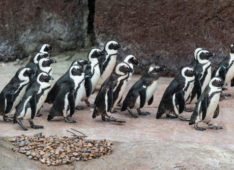Przygarnij pingwinie jajo