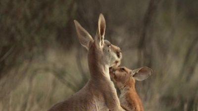 Natura w Jedynce - Dzika Australia cz. 5. Wielka przygoda