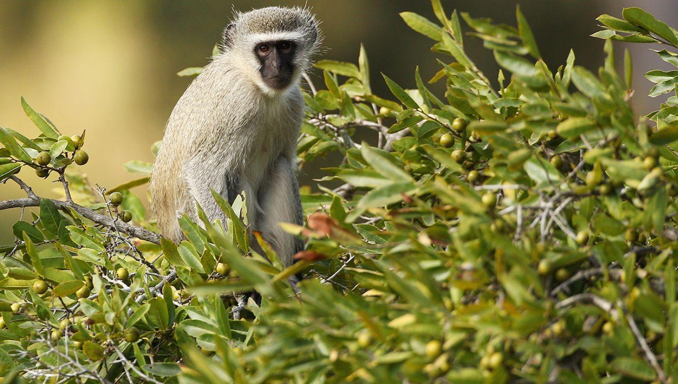 Małpy – Kotawce – to gatunek naczelnych, który jest bardzo rozpowszechniony w Afryce na południe od Sahary (fot. Cameron Spencer/Getty Images)