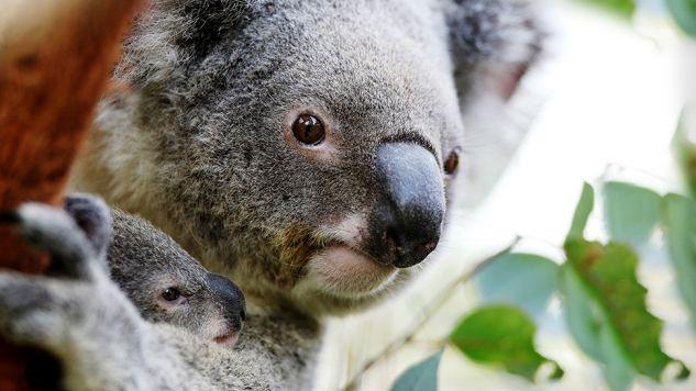 Misiów koala na cyplu jest za dużo (fot. Ian Waldie/Getty Images)