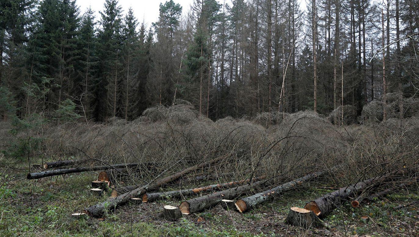 """Ścięte świerki przy drodze do """"Miejsca Mocy"""", oddział 496 Puszczy Białowieskiej (fot. PAP/Artur Reszko)"""