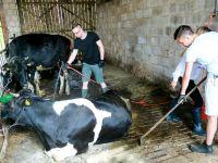 Krowy, wieś i kobiety