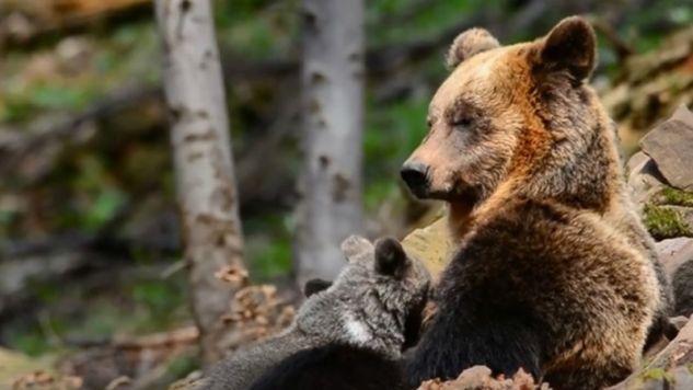 Niedźwiedzia rodzina z Bieszczad (fot. Facebook/Nadleśnictwo Baligród, Lasy Państwowe)