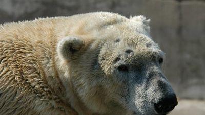 Natura w Jedynce - Lato niedźwiedzi polarnych