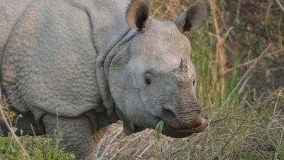 Natura w Jedynce - Nosorożce. Klątwa magicznego rogu