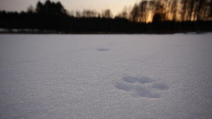 Ponad 200 leśników będzie szukać śladów rysia i wilka na obszarze kilkuset tysięcy hektarów (fot. Krzysztof Stasiaczek)