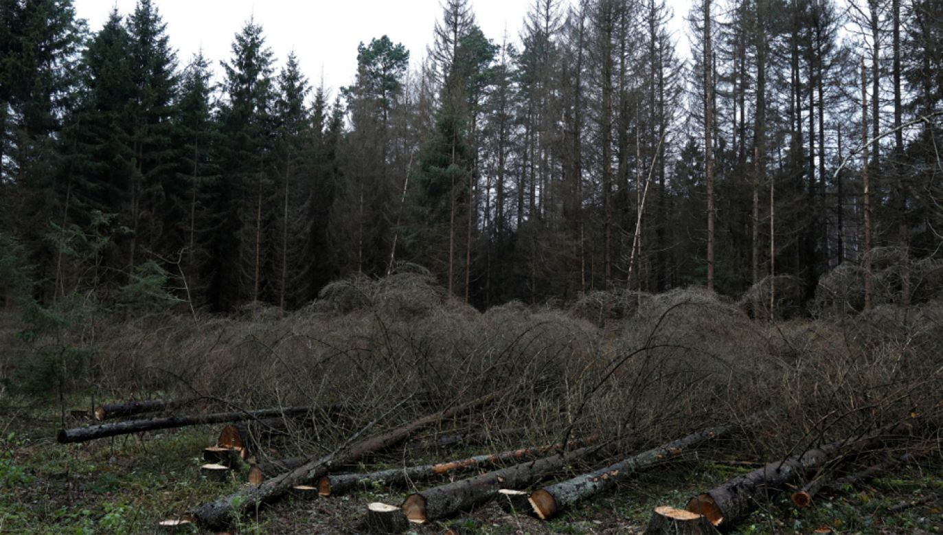 Za złamanie zakazu wycinki Polsce grozi 100 tys. euro kary dziennie (fot. PAP/Artur Reszko)