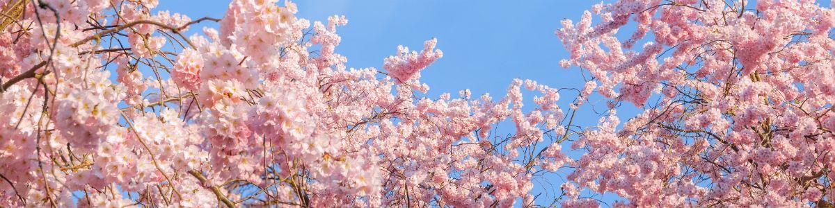 Sezon kwitnącej wiśni