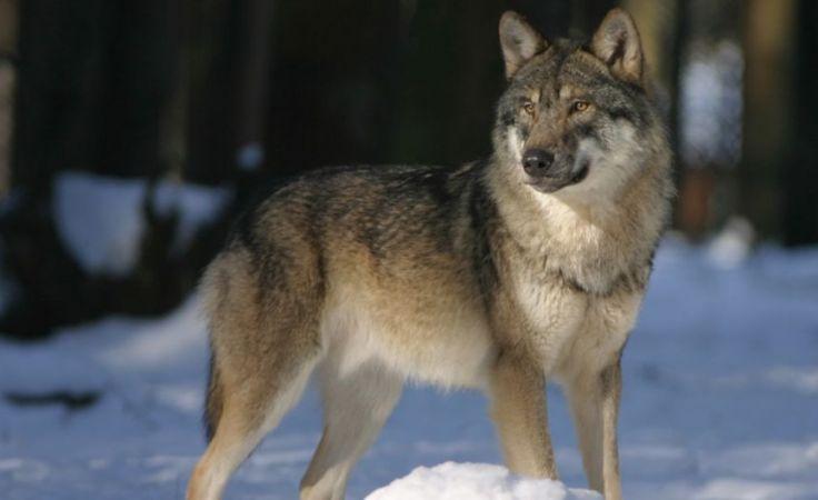 Watahy wilków stają się coraz zuchwalsze