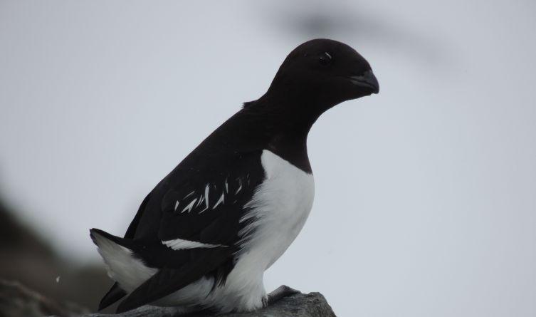 Alczyk to niewielki ptak morski, wielkości dłoni, gniazdujący kolonijnie wyłącznie w Arktyce Wysokiej.