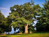 Dąb Bolko w czołówce europejskich drzew