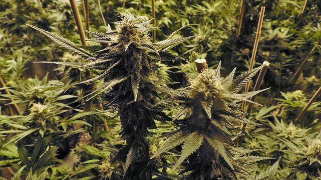Marihuana będzie dostępna na recepty w niemieckich aptekach (fot. pixabay.com/TDFUGERE)
