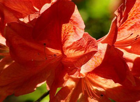 Kolekcja kwitnących azalii  w arboretum w Bolestraszycach