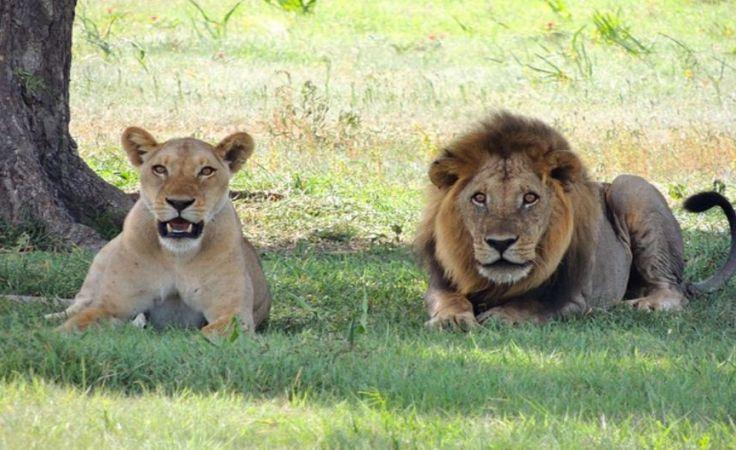 W oliwskim Zoo urodzą się lwiątka