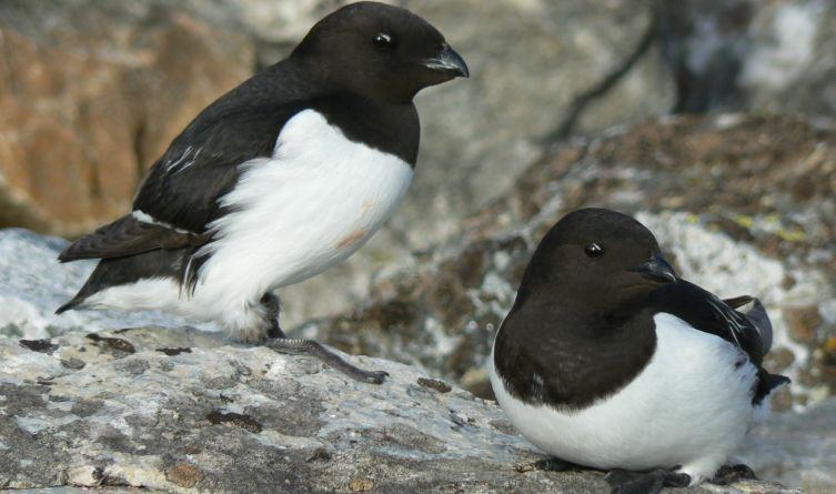 Samiec i samica alczyka są sobie wierne, tworzą parę lęgowa przez wiele lat, razem wysiadują jajo i wychowują pisklę.