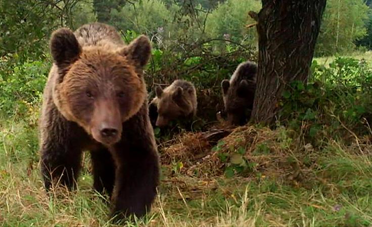 Bieszczadzkie niedźwiedzie szykują się już do zimy