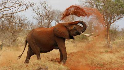 Podróżnik – Słonie z Tsavo