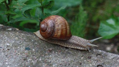 Ślimaki winniczki to największe lądowe ślimaki występujące w Polsce (fot. pixabay.com)