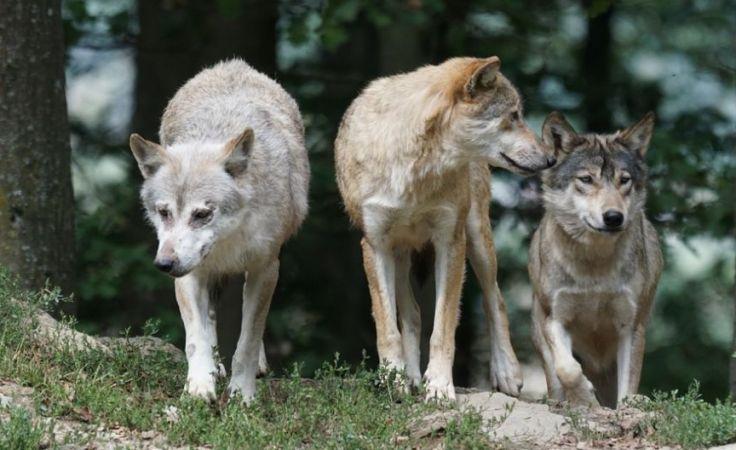 Pomorskie lasy pełne wilków