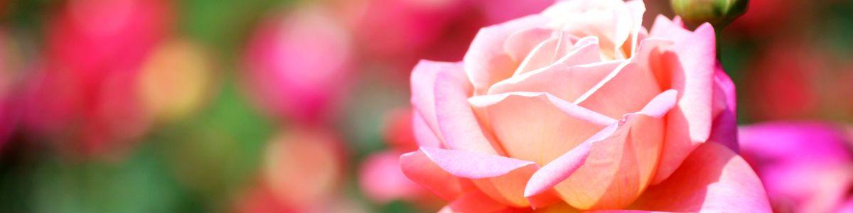 Różany czar