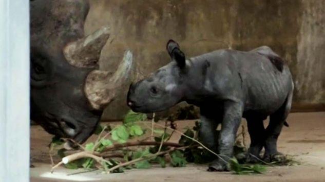Nosorożec czuje się dobrze (fot. TVP Info)