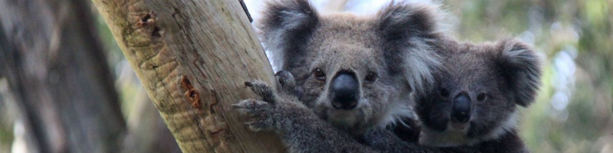 Moc eukaliptusa