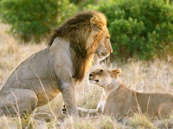 Zakochani są wśród zwierząt, Na sawannie