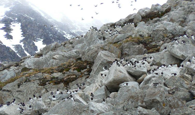 Alczyki gniazdują na stromych zboczach skalnych na brzegach morskich. Tuż za Polską Stacją Polarną  na Spistbergenie.