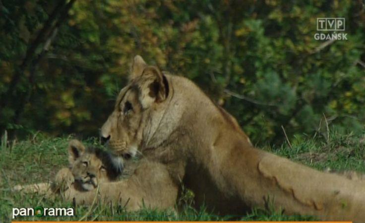 Prezentacja trzech lwiątek w gdańskim ZOO