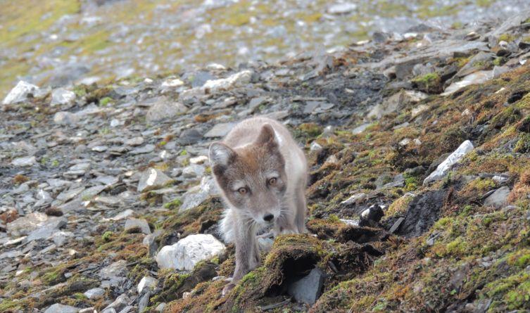 ...aż po lisy polarne polujące na liczne w takich miejscach ofiary.