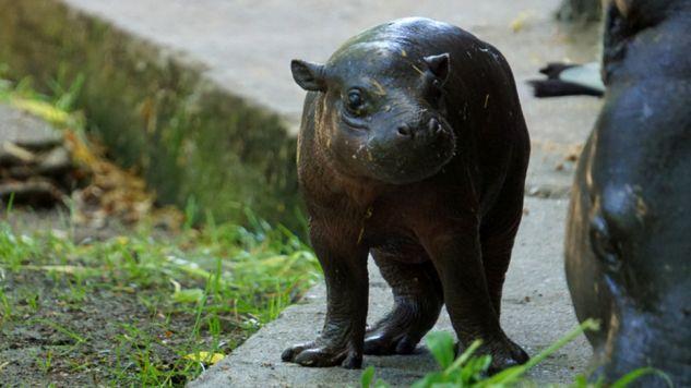 Pierwszy spacer najnowszego mieszkańca wrocławskiego zoo (fot. zoo.wroclaw.pl)