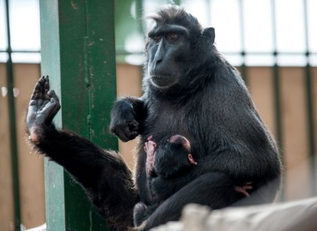 Uroczy makak we wrocławskim ZOO