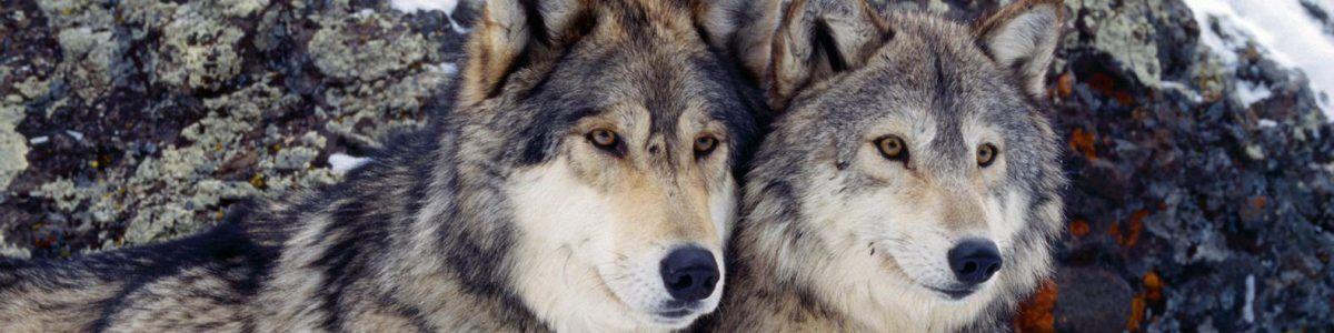 Żyjąc wśród wilków