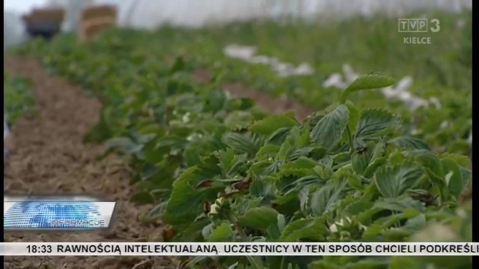 Przymrozki zniszczyły około 80 procent truskawek gruntowych, temperatura dała się we znaki nawet tym w tunelach.