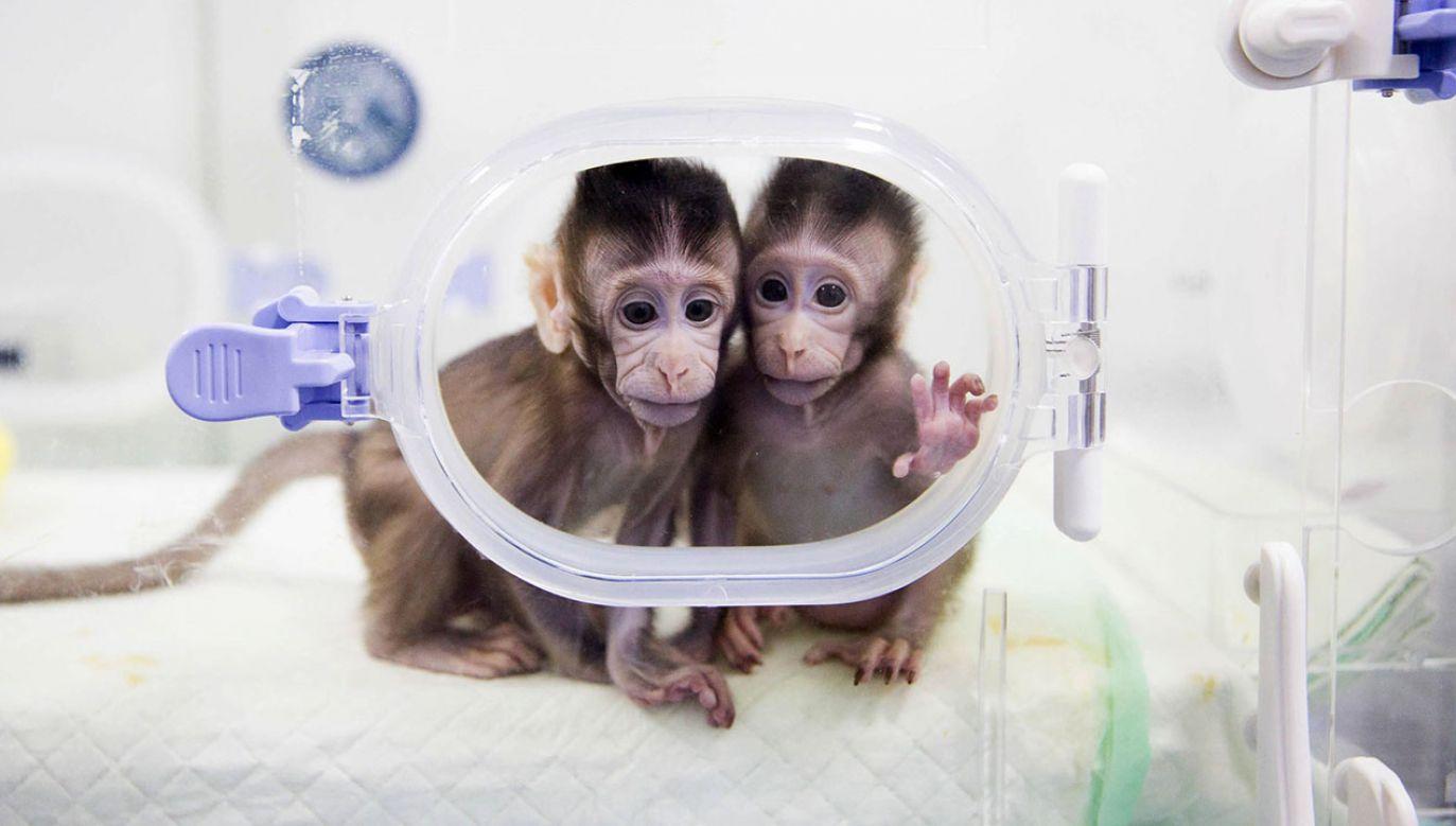 Dwa sklonowane makaki Zhong Zhong i Hua Hua (fot. arch. PAP/Photoshot /Jin Liwang)