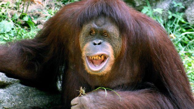 Orangutany odkryły działanie rośliny o nazwie Dracaena cantleyi (fot. WikiKabir Bakie)