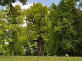 Dąb Józef Europejskim Drzewem Roku 2017!