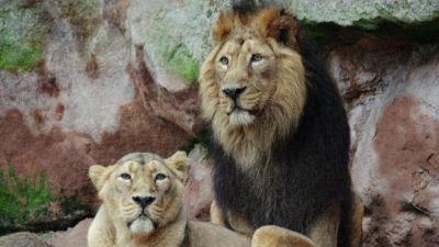 Natura w Jedynce - Powrót króla lwa