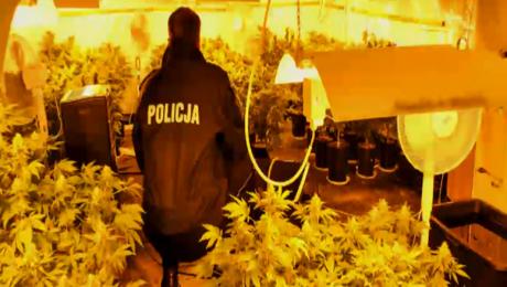 Plantacja w piwnicy. Policja znalazła 250 krzewów konopi
