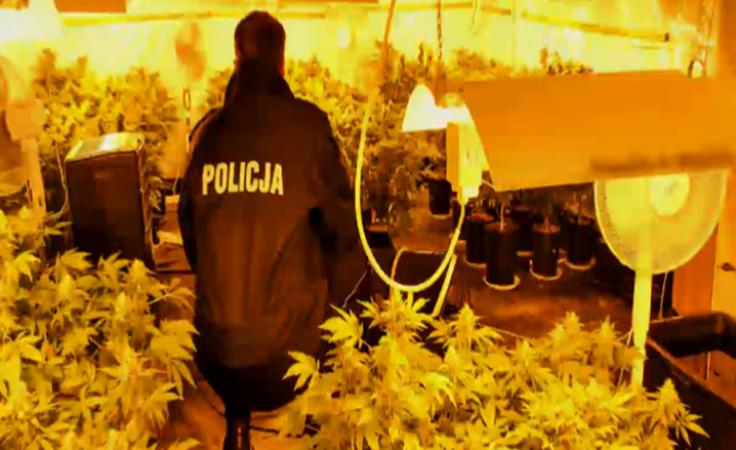 Plantacja w piwnicy. Policja znalazła 250 krzewów konopii
