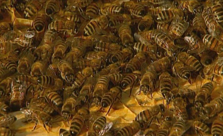 Pszczoły przegrywają walkę z warrozą