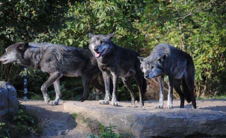 Groźna wataha wilków zagryzła stado danieli