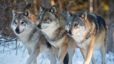 Natura w Jedynce – Saga prastarej puszczy – Opowieść o wilku: Nie ma jak stado