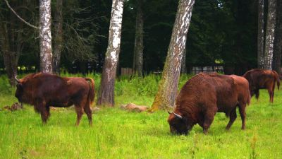 Natura w Jedynce – Saga prastarej puszczy – Opowieść o żubrze