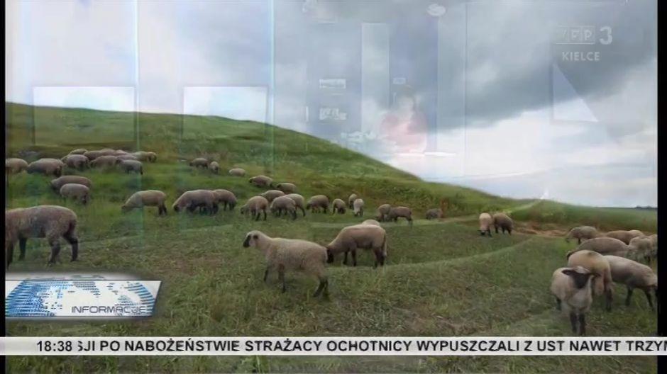 Na Ponidzie sproawdzono około 200 owiec tej czarnogłowej rasy.