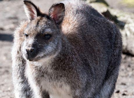Kangury rdzawoszyje w ZOO Wrocław