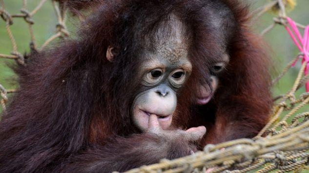 Szympansom i orangutanom puszczano produkcje kinowe (fot. Robertus Pudyanto/Getty Images)