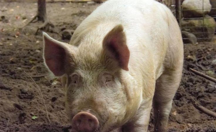 Afrykański pomór świń tuż za miedzą. Zdjęcie: Radio Kielce